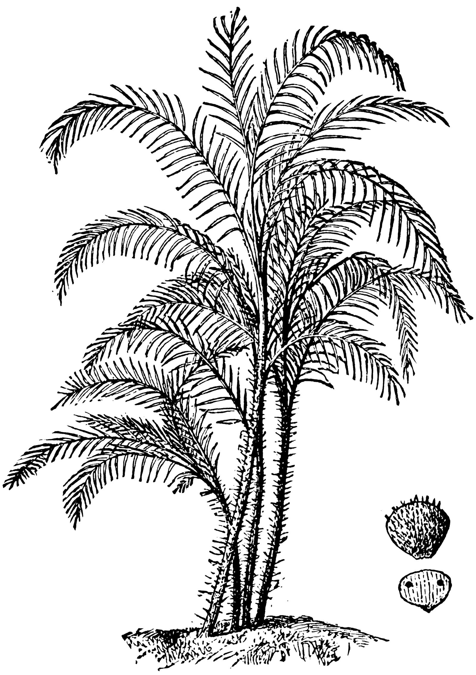 1600x2268 Palm Tree Line Art Stock 3 By Ihcoyc