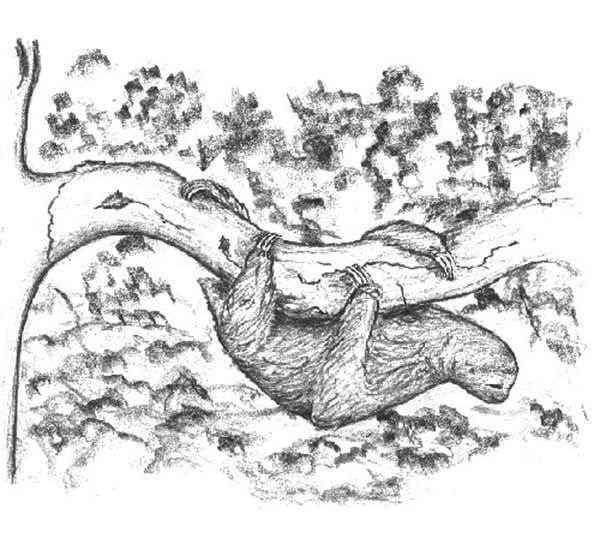 600x538 Pencil Sketch Of Sloth Coloring Page Color Luna