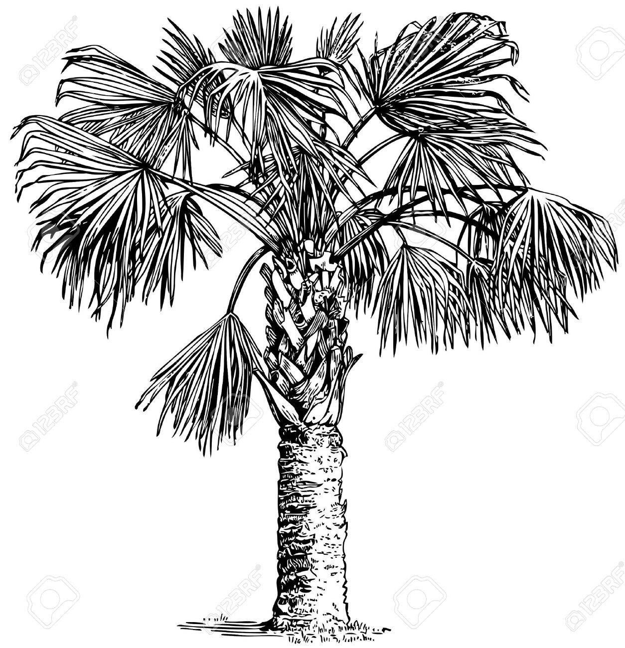 1254x1300 Plant Sabal Palmetto (Cabbage Palm) Isolated On White Background