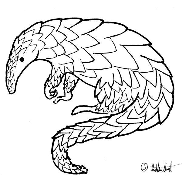 600x579 Pangolin Drawing By Qazse1