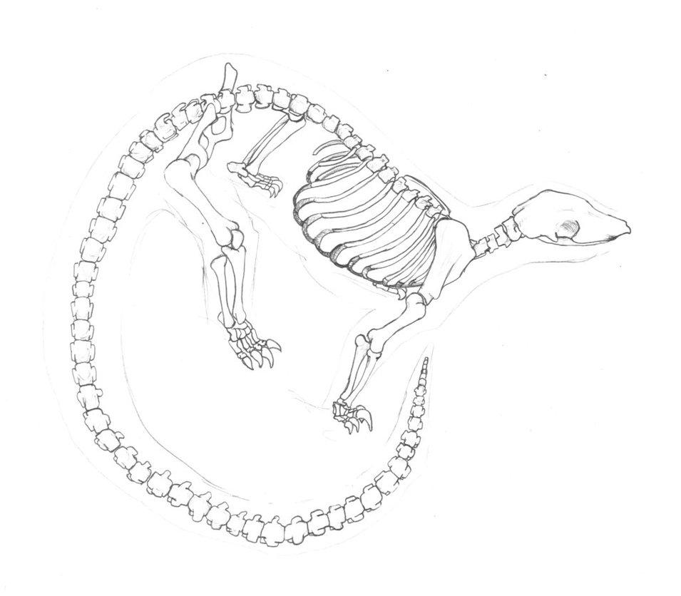 955x836 Tree Pangolin Skeleton By Lacie Lady Lynx