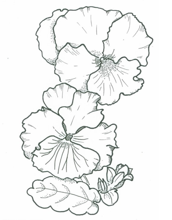 570x732 Items Similar To Illustration Of Pansies