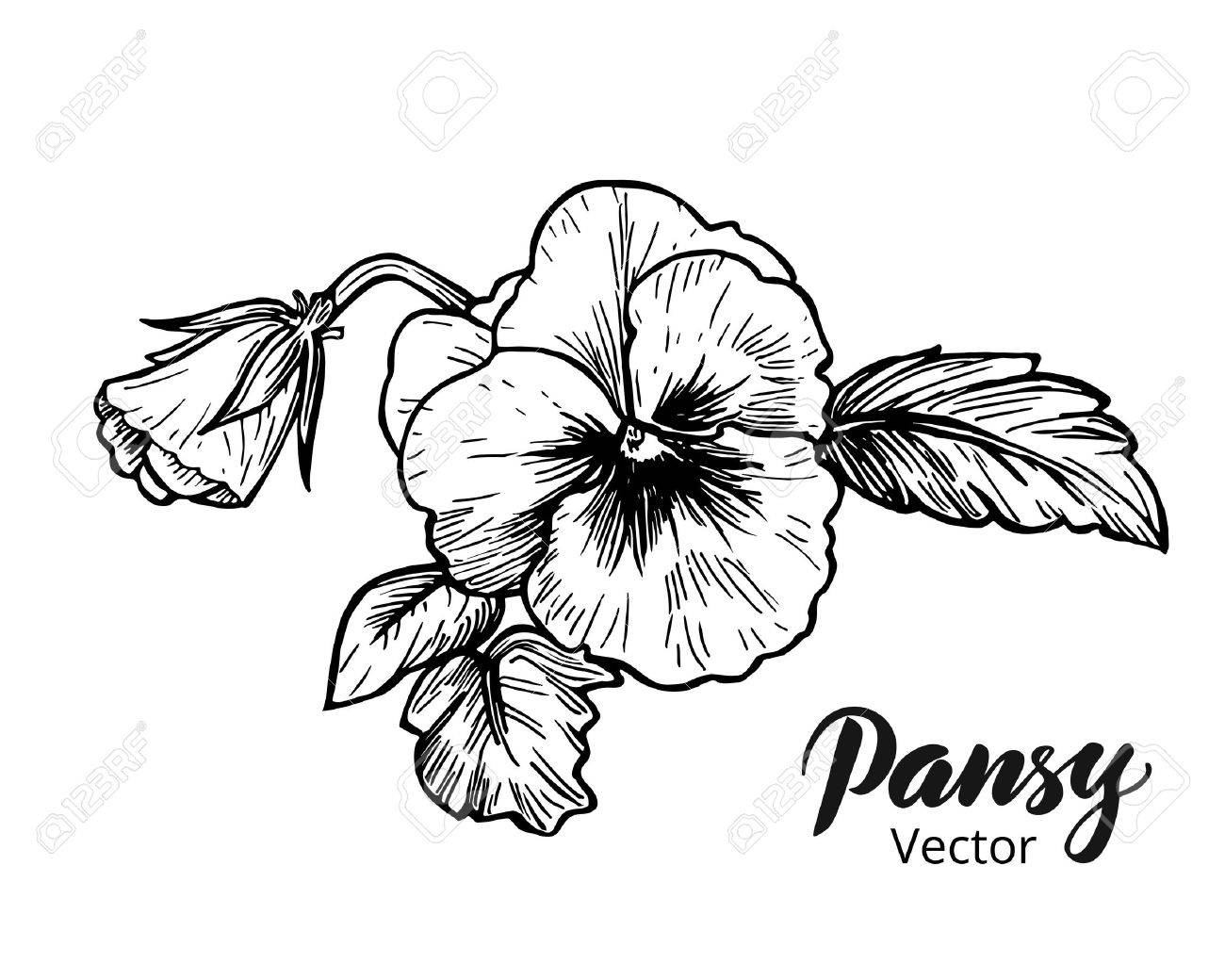 1300x1040 Hand Drawn Pansy Flowers. Vintage Style Vector Illustration