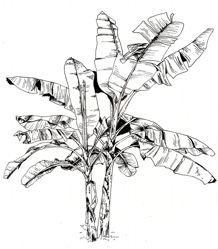 700x802 Banana Tree. This Illustration Was Done During My Trip To Tanzania