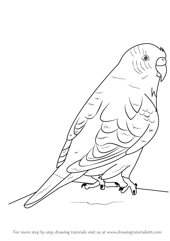597x844 Learn How To Draw A Budgie Aka Budgerigar (Birds) Step By Step