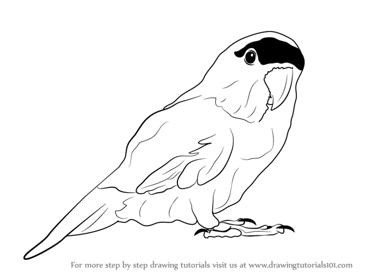 800x566 Parrot Images Drawing Matatarantula