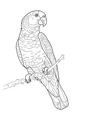 360x480 Imperial Amazon Parrot Coloring Page Free Printable Coloring Pages