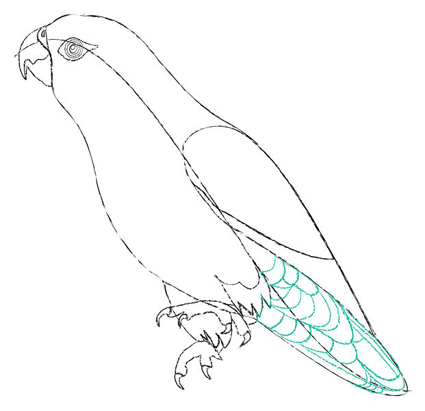 621x600 Pencil Sketches And Drawings How To Draw A Parrot