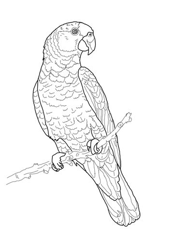 360x480 Imperial Amazon Parrot Coloring Page