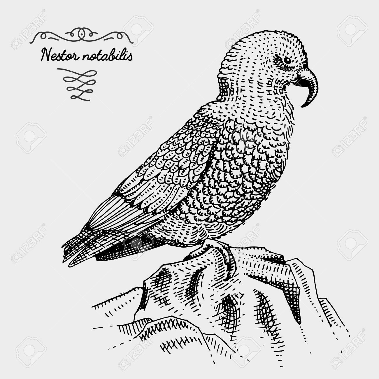 1300x1300 Kea Bird Engraved, Hand Drawn Vector Illustration In Woodcut
