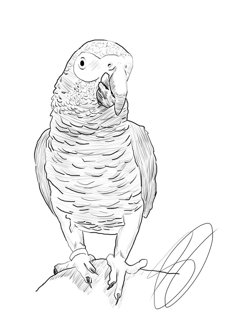 786x1017 How I Draw An African Grey Parrot Youtube. Jakojpg 845999 African