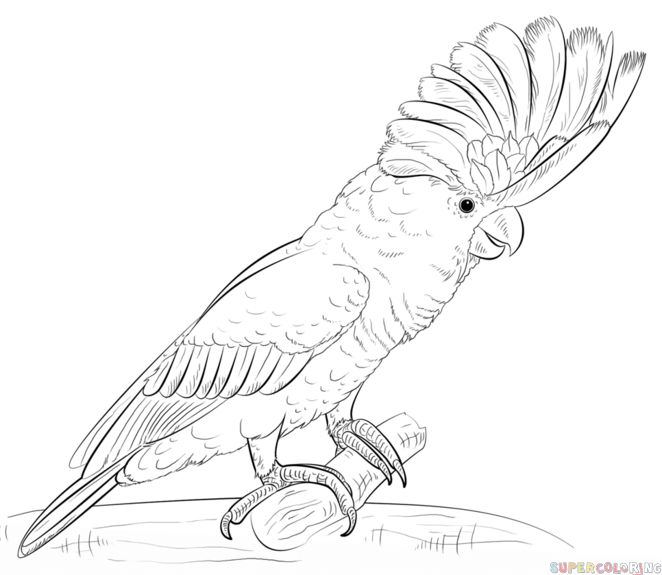 Parrot Sketch Drawing