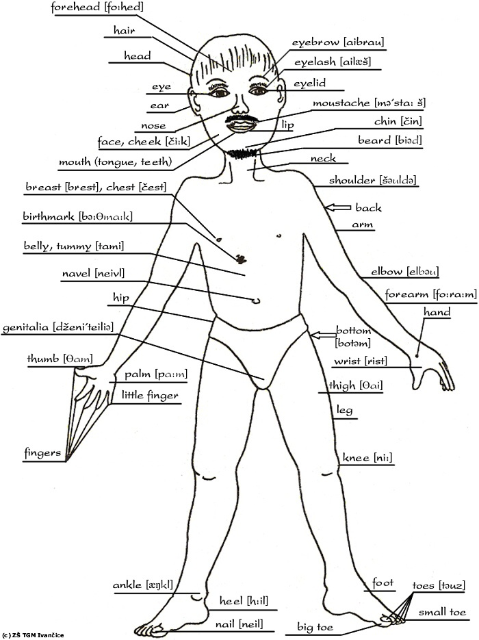 Parts Of The Body Drawing at GetDrawings com | Free for