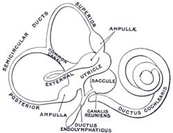 250x192 Membranous Labyrinth