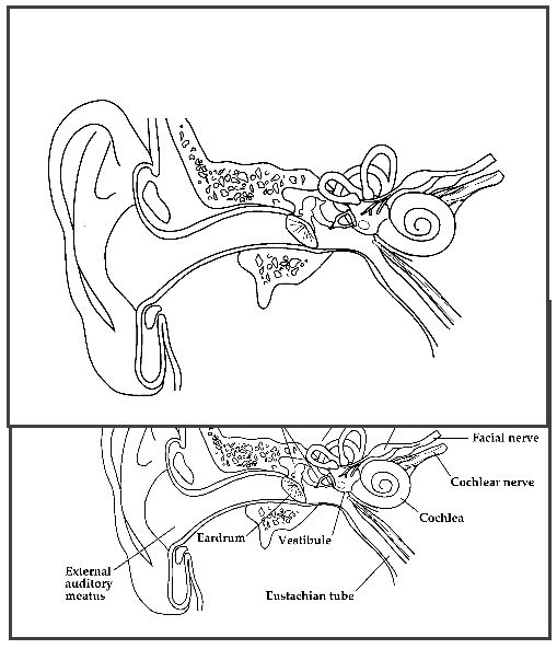 parts of the ear drawing at getdrawings com