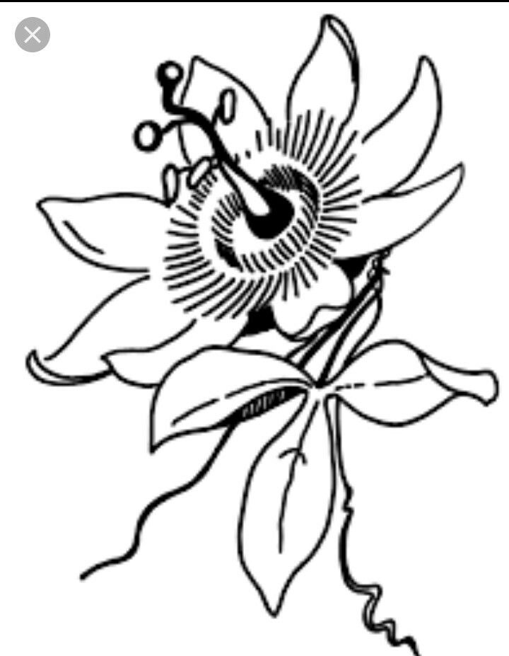 Passion Flower Line Drawing : Passion fruit drawing at getdrawings free for