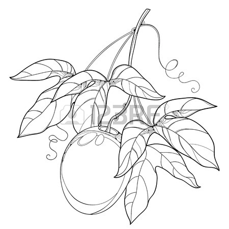 450x450 Branch With Outline Passion Fruit Or Maracuya Fruit And Leaf
