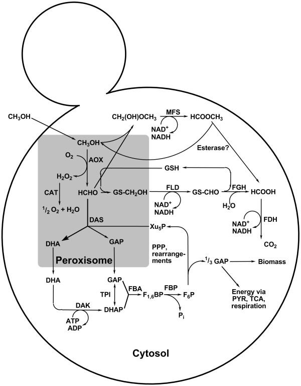 600x769 Methanol Utilisation Pathway In Methylotrophic Yeasts The Main