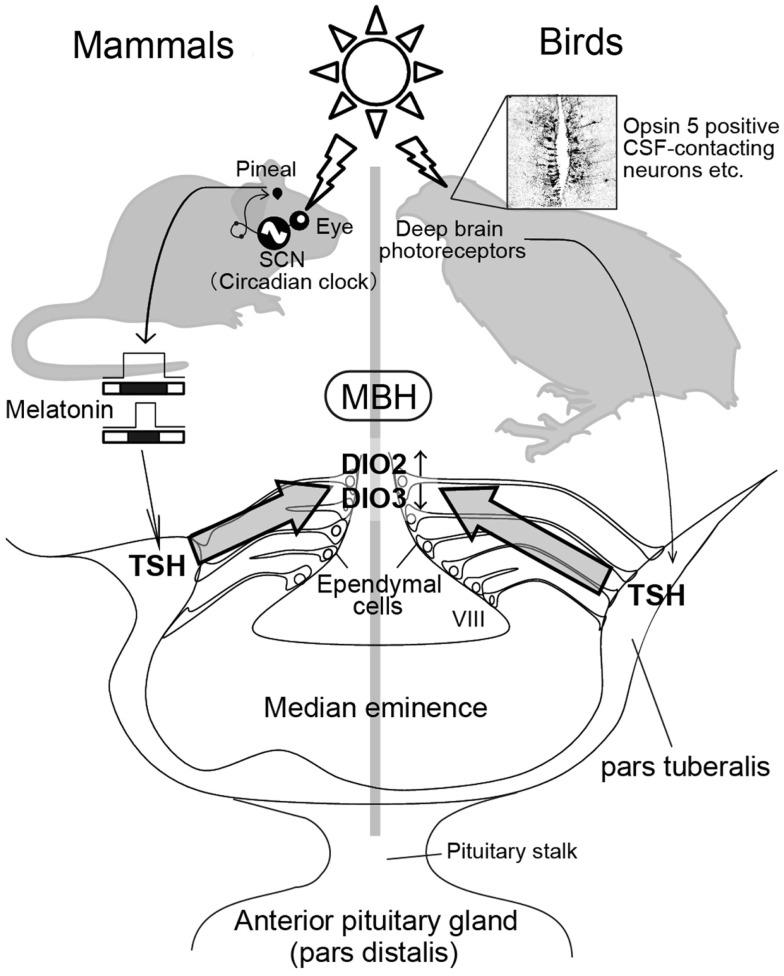784x976 Photoperiodic Signal Transduction Pathway Mammals And Birds.