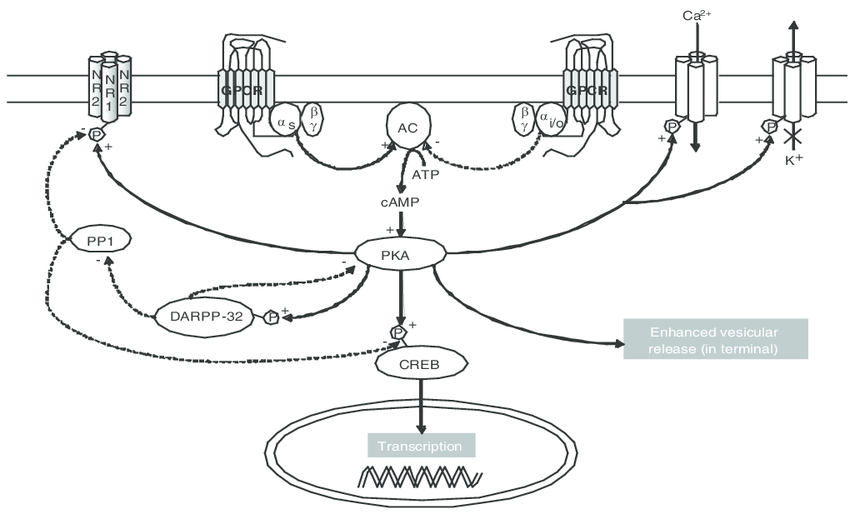 850x529 The Camp Signaling Pathway. G Protein Coupled Receptor Activation