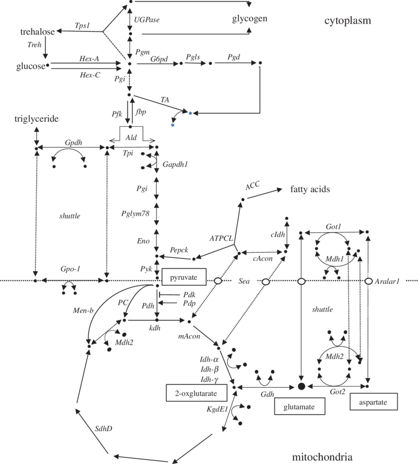 850x943 The Generalized Central Metabolic Pathway Adapted And Modified