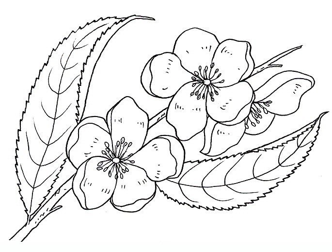 685x519 Peach Blossom Flowers Coloring Pages