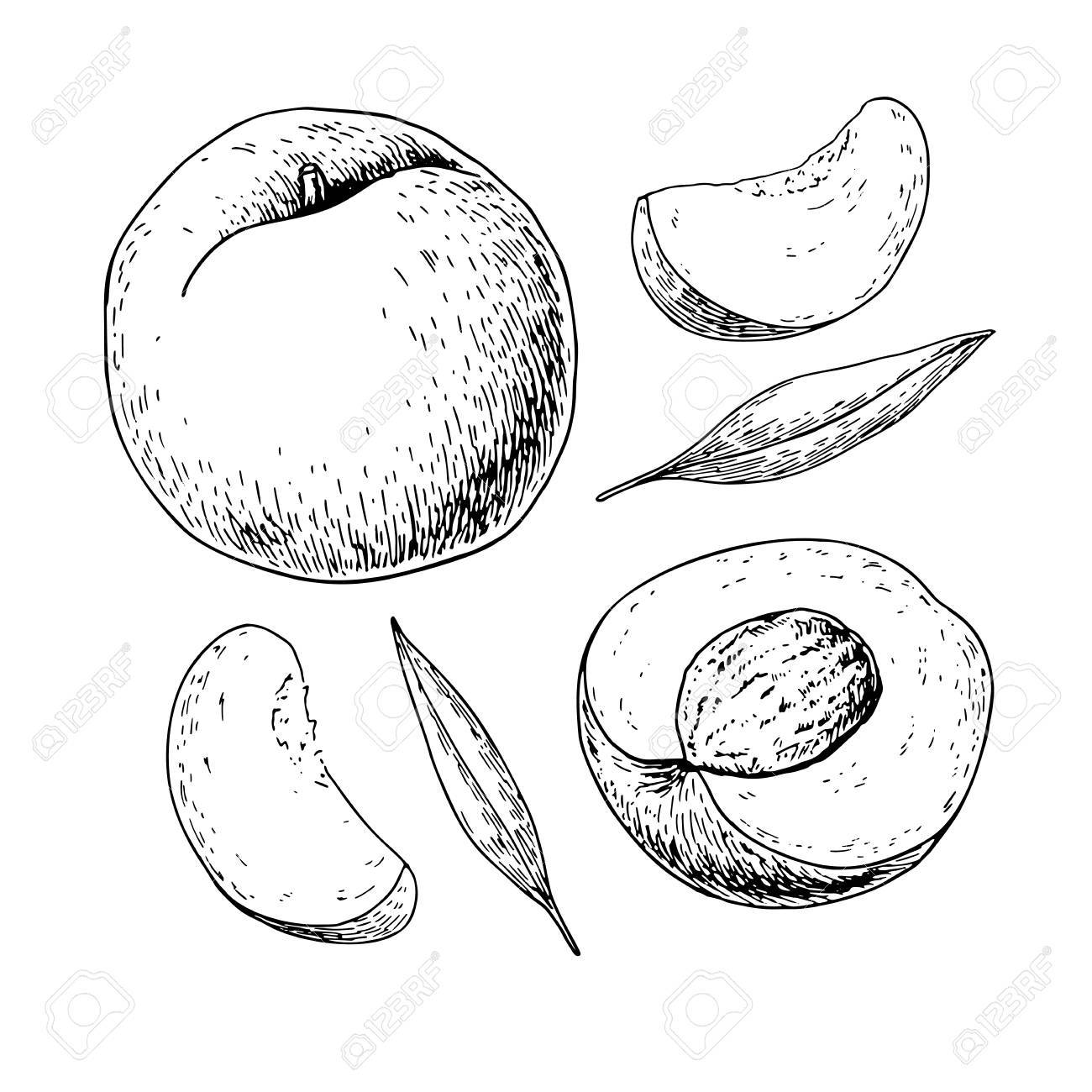1300x1300 Peach Vector Drawing. Isolated Hand Drawn Full And Sliced Pieces