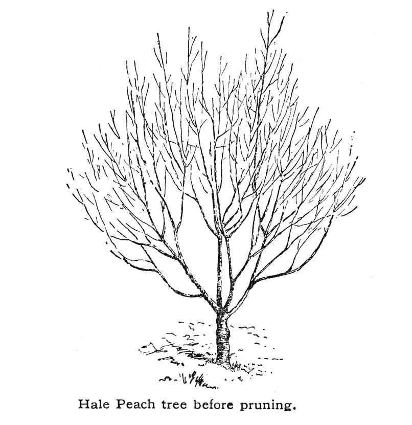 806x831 Peach Small Farmer's Journal