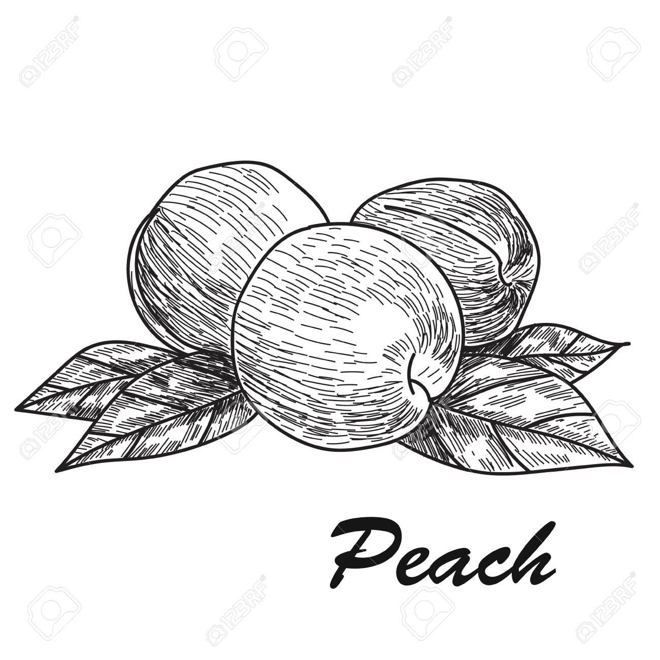 1300x1300 Hand Drawn Sketch Style Peach. Ripe Whole Peach And Peach Quarter