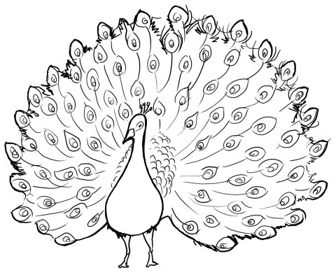 480x393 Print Pictures Of Peacock For Children To Color