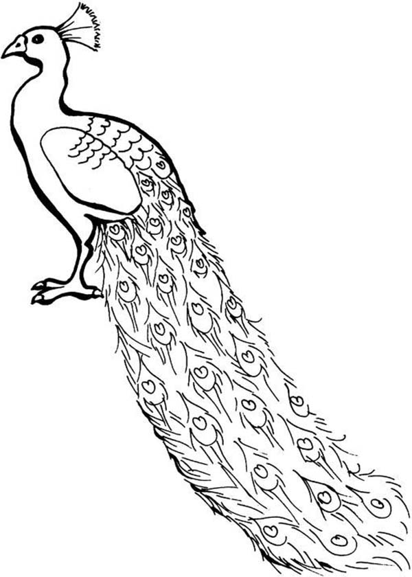 600x840 A lovely african congo peacock coloring page kids play color
