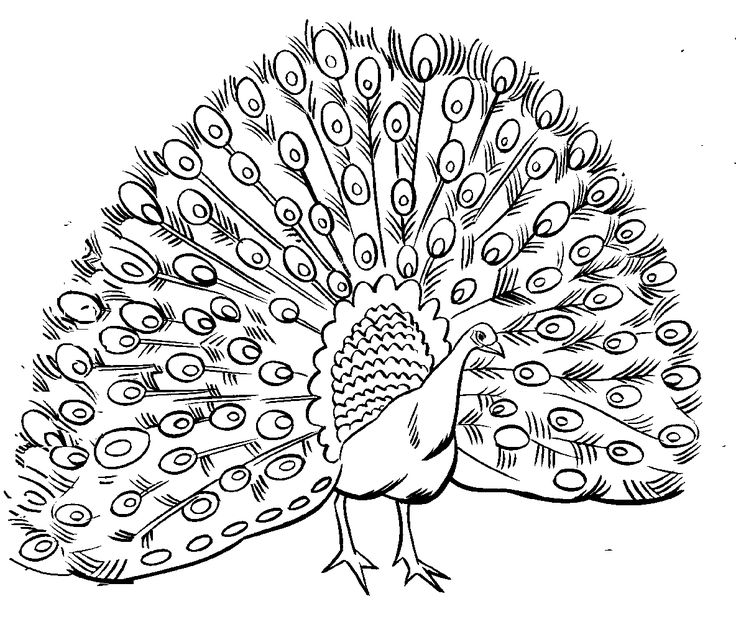 736x617 Peacock Coloring Pages For Big Kids And Adults Printable In Good