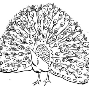 300x300 Drawn Peacock Coloring Page