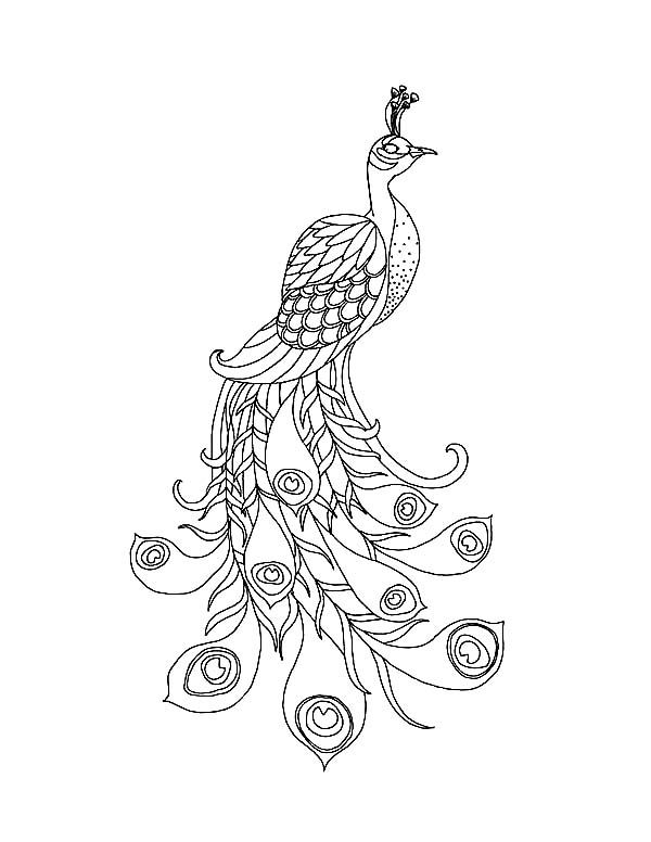 Peacock Images For Drawing At Getdrawings Com Free For Personal