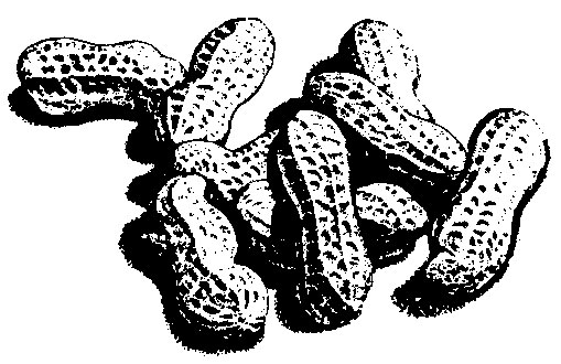 509x330 Peanuts Mississippi State University Extension Service