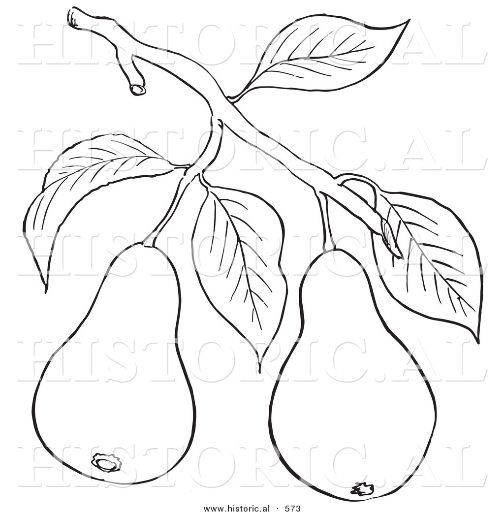 1024x1044 Historical Vector Illustration Of A Pear Tree Branch With 2 Fruits