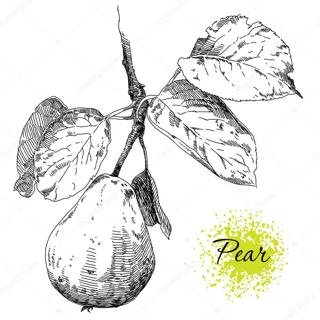 1024x1024 Hand Drawing Pears On Pear Tree Branch Stock Vector