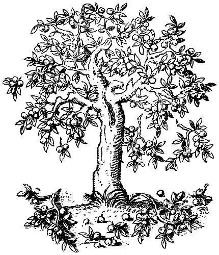 430x500 Tree. Pyrus Malus. C. S.