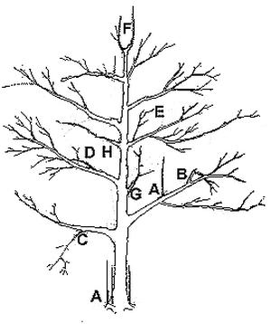 300x358 Hgic 1351 Pruning Amp Training Apple Amp Pear Trees Extension