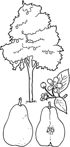 231x480 Pear Tree Coloring Page Free Printable Coloring Pages