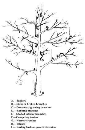 276x422 Pruning A Mature Apple Or Pear Tree The Modern Gardener