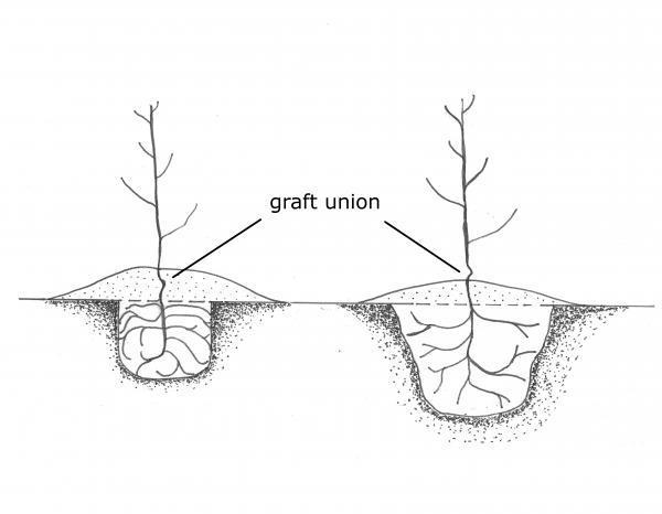 Pecan Tree Drawing