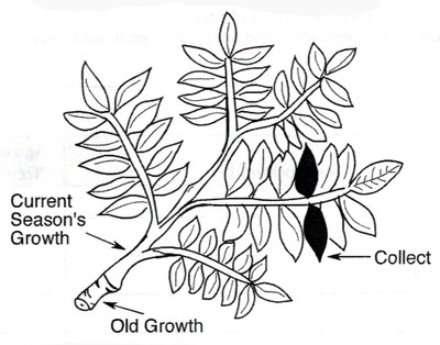 400x314 Pecan Leaf Samples Instructions Oklahoma Pecan Management