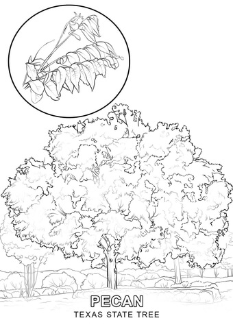 340x480 Texas State Tree Coloring Page Free Printable Coloring Pages