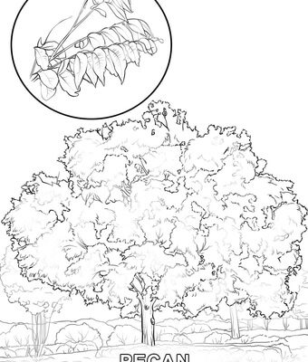 340x400 Pecan Tree Coloring Page Design And Ideas Page 0