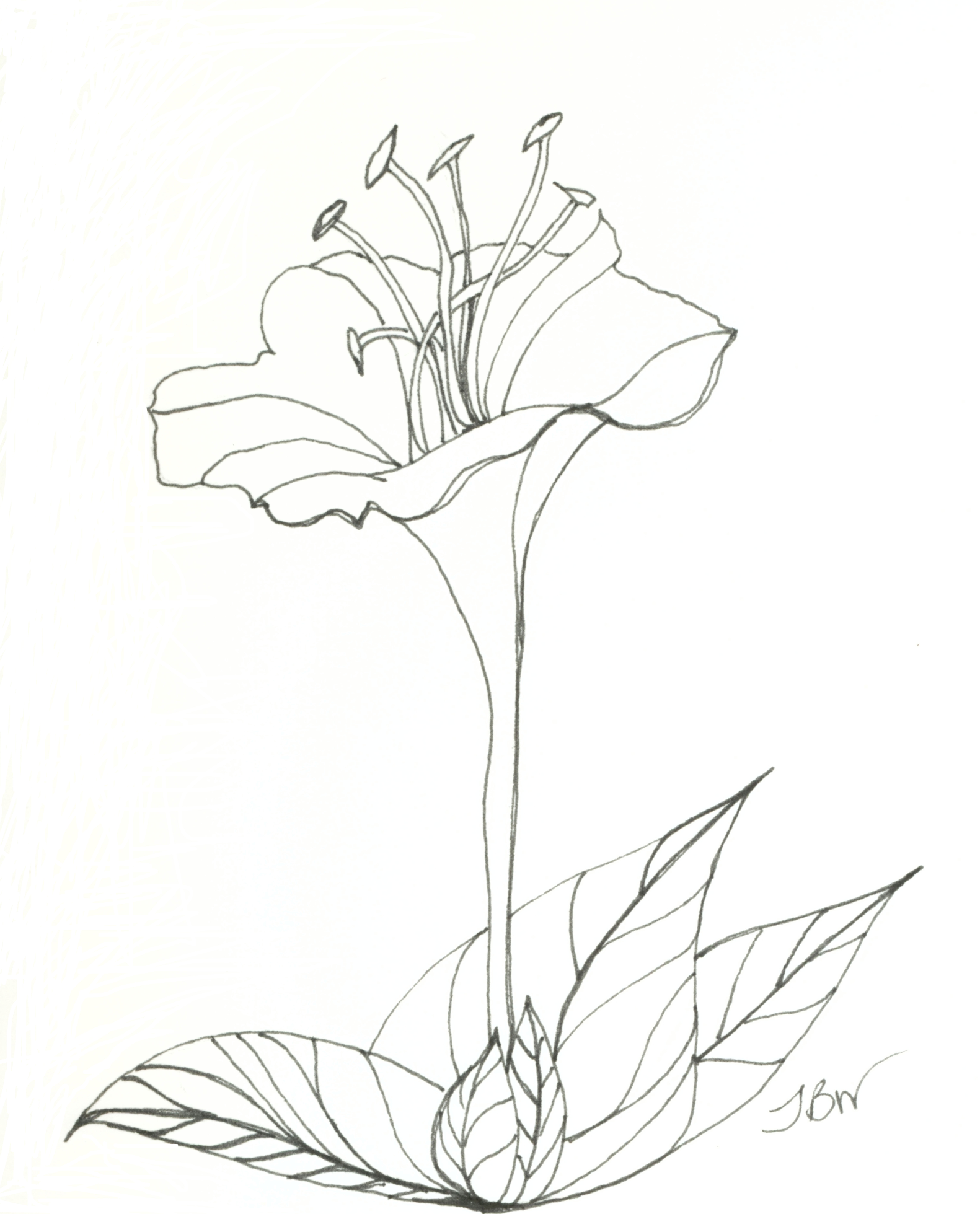 Pen And Ink Flower Drawing