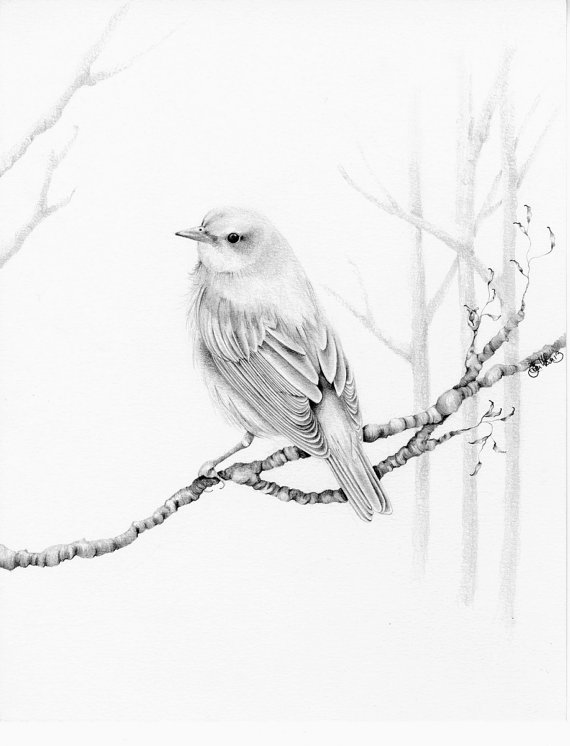 570x746 Bird Drawing Giclee Fine Art Print of my Original Pencil