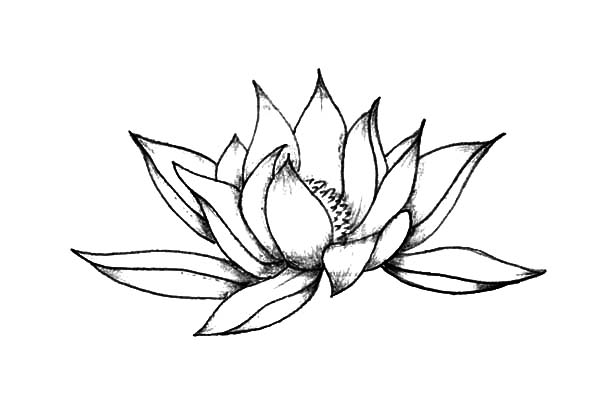 600x404 Pencil Sketch Lotus Flower Coloring Pages Batch Coloring