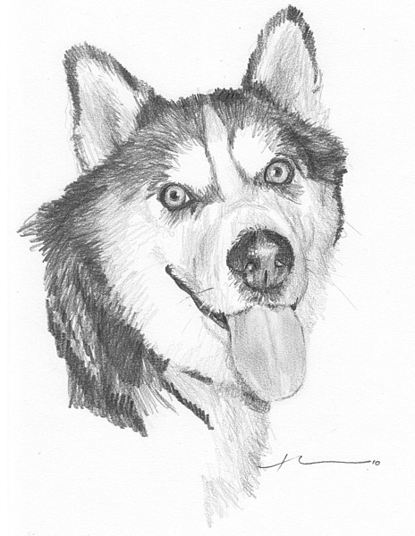 464x600 Drawings Of Lab Dogs