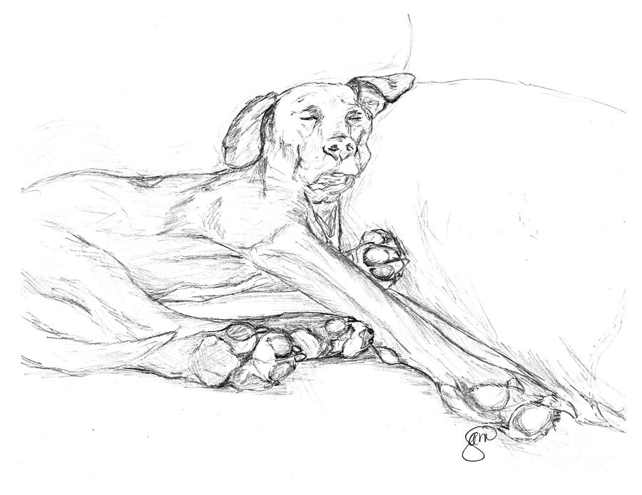 900x695 Great Dane Dog Sketch Bella Drawing By Stacey May